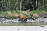 Bear on the Kenai